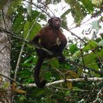 Dieser braune Kapuziner - Affe hier geniesst die Freiheit... Und aergert (dann spaeter) seine Verwandten im Kaefig.
