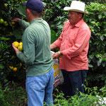 Ruiz und Don Jesus pflücken Orangen