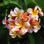 Meine Lieblingsblumen Frangipani
