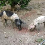 Die Hausschweine sind hier allgegenwaertig...