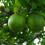 Limonenbaum im Garten
