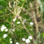 Ich bin echt fasziniert wie oft ich die Spinnen hier sehe...