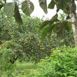 Guanaranjas (irgendeine Orangen-Art)