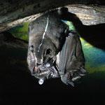 Fledermaus-Weibchen sind 3 Monate schwanger, wenn sie ihr Baby (Zwillinge sind superselten, ganz zu schweigen von Mehrlingsgeburten) bekommen, hilft eine Fledermaus-Hebamme, die Mami gebaehrt natuerlich kopfueberhaengend (sicherer)...