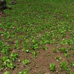 auch Salat wird hier angebaut
