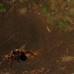 Tarantula!!!! In wilder Verfolgungsjagd! Sie weiss nicht, dass es unser Guide war, der sie rausgelockt hat. Spinnen haben soviel Haare an den Beinen um feinste Vibrationen zu spueren. Dafuer sehen manche nur schwarz/weiss.