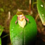 Die Orchideen wachsen an einem Baumstamm