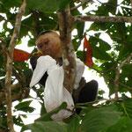 ... mit auf den naechsten Baum genommen und dort (man koennte fast meinen haemisch grinsend) hat er dann genuesslich ALLE Bananen aus der Tuete verdrueckt.