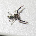 Die Spinnen lief gerade ueber den PC. Finde sie sieht cool aus! Sie heisst Claudia. Und ja, ich gebe allen Krabbelviechern Namen!