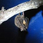 Von den 3 Arten von Vampirfledermaeusen leben 2 Arten in Costa Rica! Aber in der Hoehle waren nur die Arten, die sich von Bluetennektar und Fruechten ernaehren. Die, die sich von Nektar ernaehren haben sogar eine hoehere Fluegelschlagfrequenz als Colibris