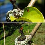 Kolibriküken