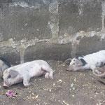 Es war soooo heiß - die armen Schweinchen mussten auch im Schatten ausruhen!