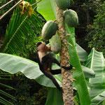 Kapuzineraeffchen beim Papayafuttern