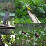 "Vögel im und ums Projekt ""Tortugas de Pacuare"""