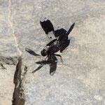 Komische Libelle
