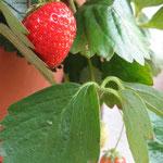 Erdbeeren im Oktober...
