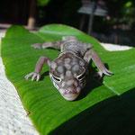 seltener Salamander