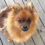 Pin Up - Réf 265020817 - F - 2016 - Obéissance: base - Rem : calme et sociable -  Cours éducation canine