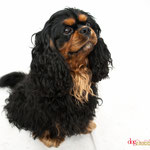 Lucky - Réf 240527 - Cavalier King Charles - Tournages & Photos - Rem : Dogdance +++ - Comprends le danois