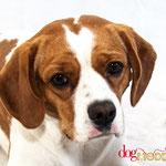Buddy - Réf 310513 - Beagle X King Charles - M - Tournage & Photos - Rem : Obéissance - Roule - Donne la patte