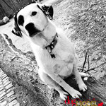 Cookie - Réf 030410/16 - Labrador X dalmatien - F - Tournages & Photos - Rem : obéissance +++ - Expérience