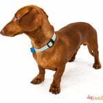 Maurice - Réf 240522 - Teckel - M - Tournage & Photos - Rem : expo - 3ème place concours Dog Model saison 1