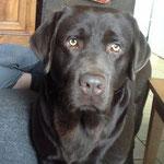 Ipso - Réf 22290816 - M - Labrador - 2013 - Obéissance de base - Rem : yeux clairs - sociable - Cours d'éducation