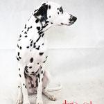 Mell - Réf 070614 - Dalmatien - F - Tournages & Photos - Rem : Obéissance