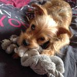 Maurys - Réf 120300117 - Yorkshire X Border Terrier - M -2015 - Obéissance de base - Rem : Agility - Malvoyant d'un oeil