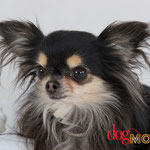 H'Dora - Réf 140602 - Chihuahua - F - Tournage & Photos - Rem : Base obéissance - N'aime pas l'herbe
