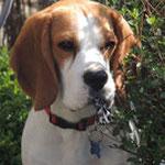 Major - Ref 10090316 - M - Beagle - Obéissance : brevet - rem : Agility, brevet sociabilité