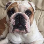 Junior - Réf 63151116 - English Bulldog - M - 04/2014 - Obéissance de base - Rem : calme