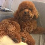 Lola - Ref 114270117 - Caniche nain - F - 2015 - Obéissance de base - Rem : Tricks