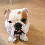 Stan - Réf 30300916 - Bulldog UK - M- 05/2015 - Obéissance de base