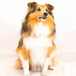 KissMe - Réf 100802 - Berger Shetland - Tournage & Photos - Rem : Troupeau - Dog Dancing
