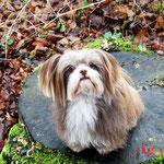Nikita - Réf 090102/16 - Chihuahua X Lhassa Apso - F - Tournages & Photos - Rem : Agility, obéissance, à distance - expérience