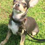 Chanel - Réf 140816 - F - Chihuahua - 2016 - Obéissance : ++chiot prometteur - donne la patte
