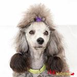 Love - Réf 070605 - Caniche - M -Tournage & photos - Rem : Dogdance +++