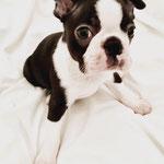 Titus - Réf 129100217 - Boston Terrier - 2016 - M - Obéissance: Base - Rem : chiot - curieux et joueur