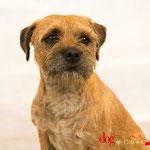 Hatchoum - Réf 100808 - Border Terrier - M - Tournage & photos - Rem : Très à l'écoute - Agility - Joueur - Tourne - etc