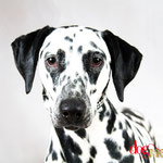 Misstache - Réf 200707 - Dalmatien - Tournage & Photos - Rem : Agility - 2ème concours Dog Model saison 1