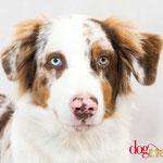 Naïko - Réf 260721 - Berger australien - M - Tournage & Photos - Rem : Obéissance - Base en dogdance
