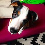 Yaka - Ref 16170316 - M - Jack Russell - 12/2014 - Obéissance de base - Rem : jovial, sauter très haut, mince et musclé