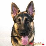 Jeiko - Réf 280917 - Berger Allemand - M - Tournage & photos - Rem : chien policier