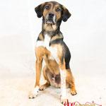 Joy - Réf 100822 - X Beagle - F - Tournage & photos - Rem : Ouvre les portes - Monte sur chaise - Saute à bras - etc