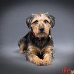 Chica - Réf 250605/16 - F - Teckel X Terrier - Tournages & Photos - Rem : Obéissance ++ - Donne la patte, aime jouer