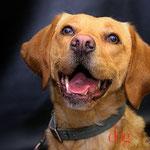 Lily - Réf 166090317 - Labrador x braque - F - Ordre de base - Rem : Obédience - Canicross