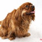 Alasor - Réf 240520 - Cavalier King Charles - M - Tournage & photos - Rem : Dog Dance +++ -  Ecoute +++