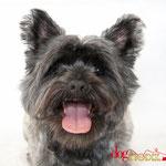 James - Réf 070612 - Cairn Terrier - M - Tournage & Photos - Rem : Obéissance - Roule