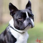 Boster - Réf 080410 - M - Boston Terrier - Tournages & Photos - Rem : Obéissance - Tricks